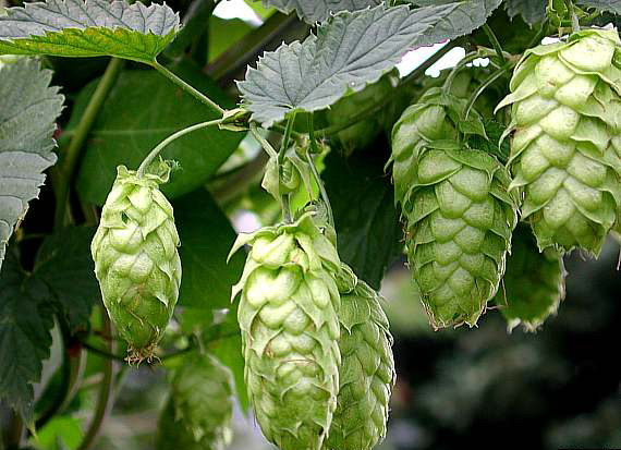 The World's Greatest Relationship: Beer and Hops